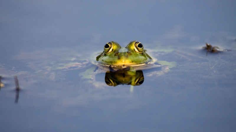 Wasserfrosch knapp über Wasser
